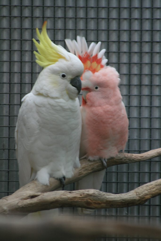 Dust and Mardie the Cockatoos